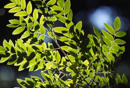 Leaves_18_1