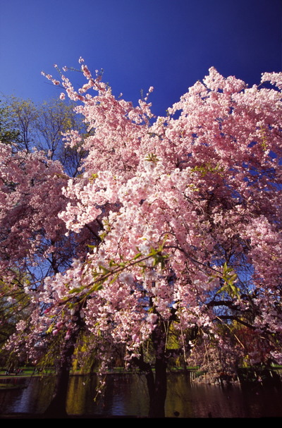 Sakura_6_1